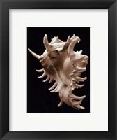 Murex Framed Print
