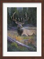 Framed South Fork Bull