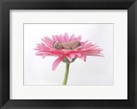 Hovey Tanya Light Pink Daisy I Framed Print