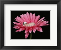 Nielson Pink Daisy Framed Print