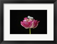 Bauman Baby Butterfly On Flowers Framed Print