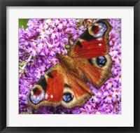 Framed Peacock Butterfly 1