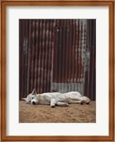 Framed White Dingo