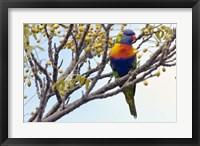 Framed Rainbow Lorikeet