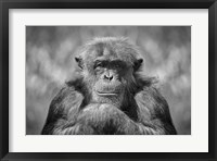 Framed Chimp