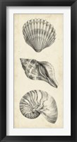 Framed Antique Shell Study Panel I