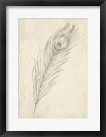 Peacock Feather Sketch II Framed Print