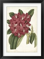 Framed Antique Rhododendron II