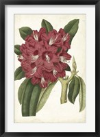 Antique Rhododendron II Framed Print