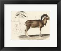 Framed Antique Antelope & Ram Study