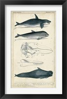 Framed Antique Whale & Dolphin Study I