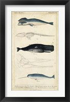 Framed Antique Whale & Dolphin Study III