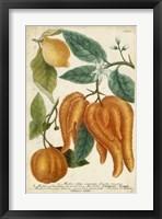 Framed Exotic Citrus I