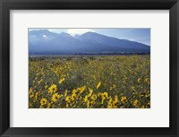 Framed Colorado Mtns Daisies