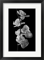 Framed Orchids 1