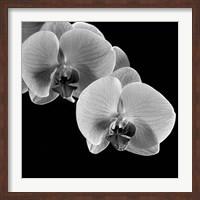 Framed Orchids