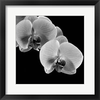 Framed Orchids
