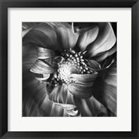 Framed Dahlia 1