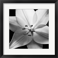 Framed White Lily