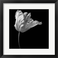Framed Parrot Tulip