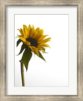 Framed Sunflower 1