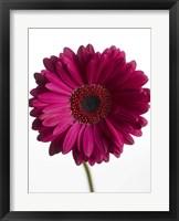 Framed Pink Gerbera 3