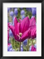 Framed Tulip Fest