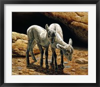 Framed Baby Bighorns