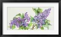 Framed Lilac Sprigs