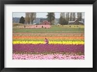 Framed Tulip Farm, Washington