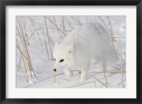 Framed Churchill Arctic Fox