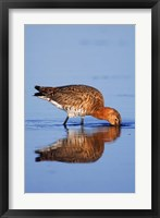 Framed Black-Tailed Godwit Bird