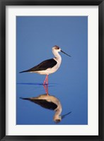 Framed Black-Winged Stilt Bird