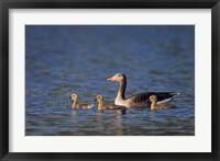 Framed Greylag Goose