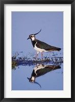 Framed Northern Lapwing Butterfly