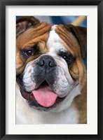 Framed English Bulldog in Belgium