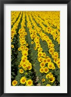 Framed Sunflowers, Provence, France