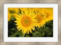 Framed Sunflower Field in France, Provence