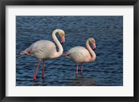 Framed Greater Flamingo bird, Camargue, France