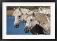 Framed Camargue Horses Run through Water