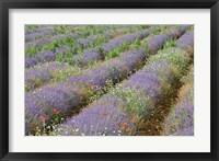 Framed Rows of Lavender in France