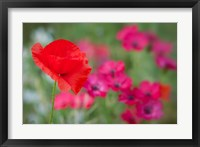 Framed Red Poppy in Wildflower Field