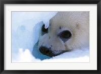 Framed Seal Pup on Gulf of St. Lawrence