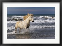 Framed Camargue Horse in the Surf
