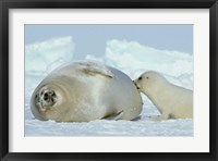 Framed Harp Seal on Magdalen Island
