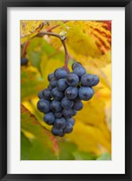 Framed Beaujolais Red Grapes in Autumn