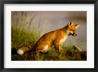 Framed Red Fox Cub