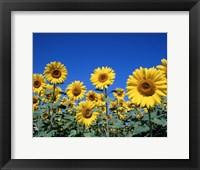 Framed Sunflowers, France