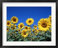 Framed Sunflowers, France