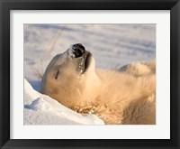 Framed Sleeping Polar Bear